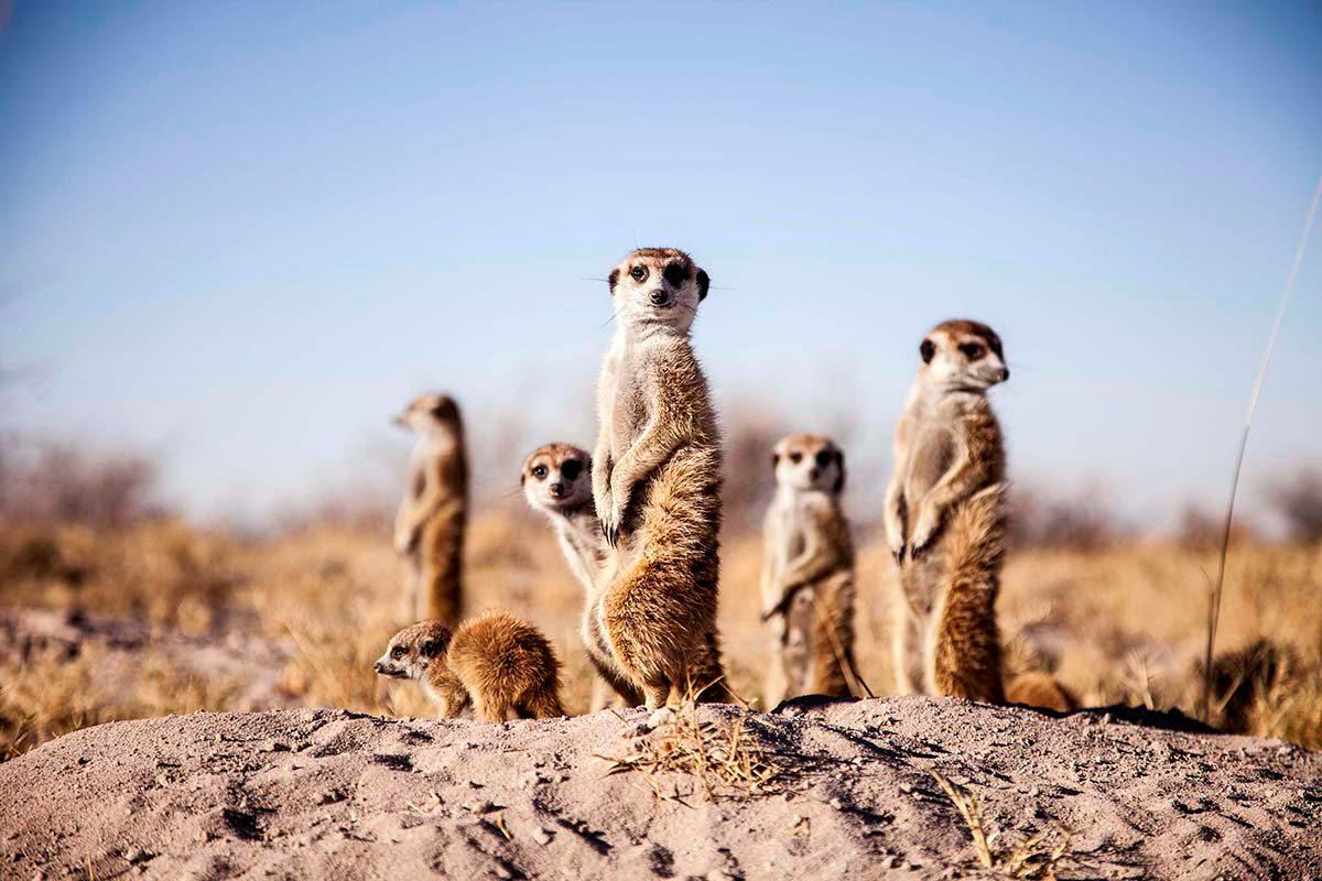 Botswana_Makgadikgadi_SanCamp_Wildlife_Meerkat5-1