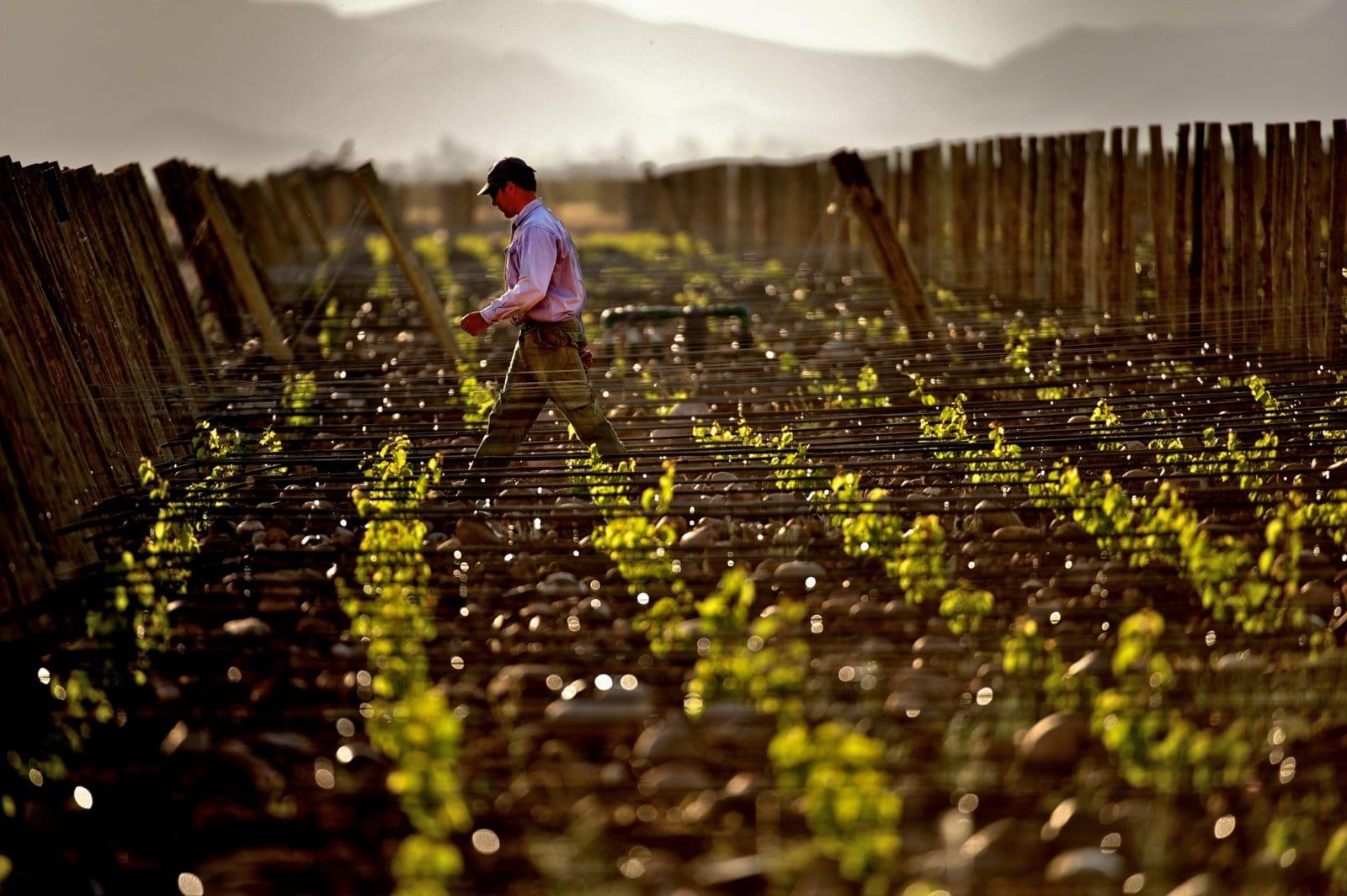 The Vines Of Mendoza, Argentina