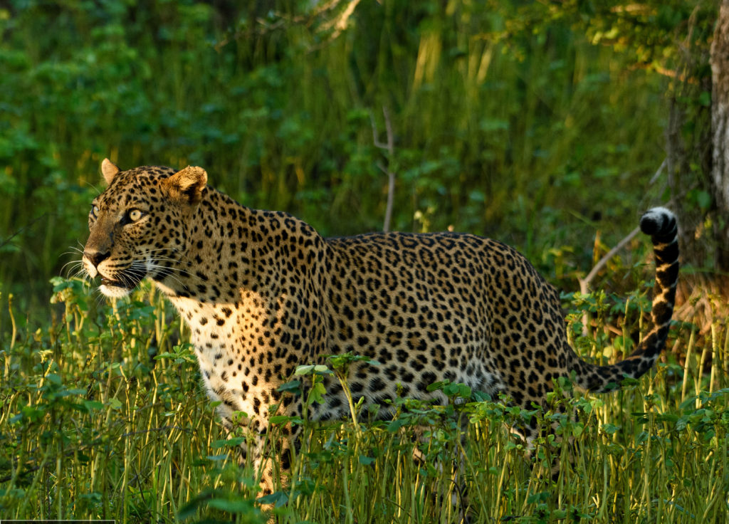 Wild Coast, Sri Lanka Leopard 2 Chandika Jayaratne