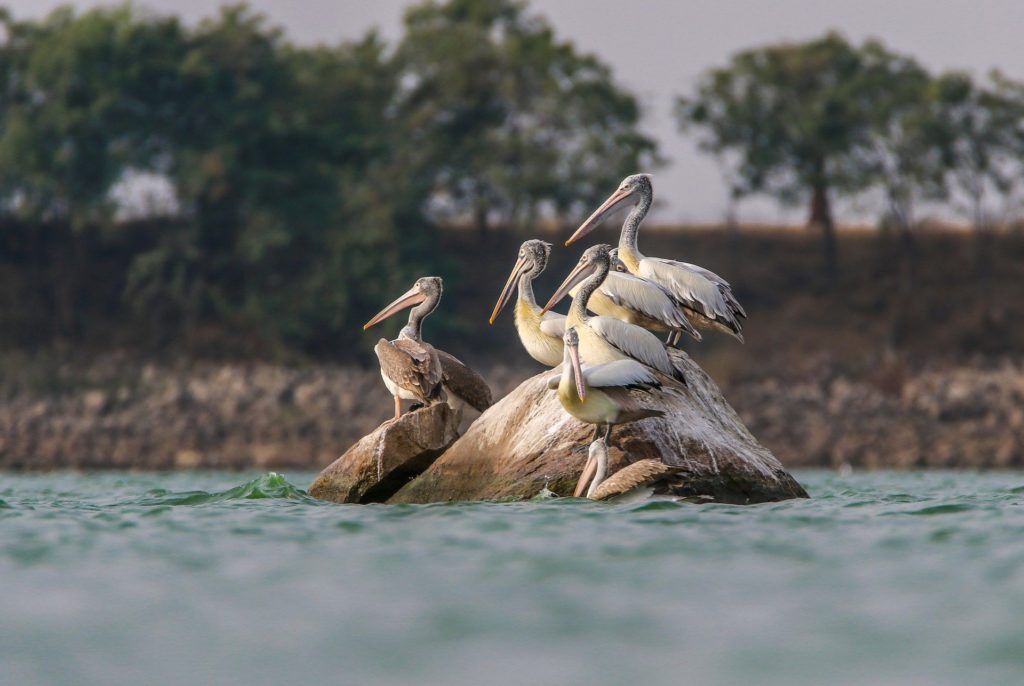 Spot Billed Pelican 4974501 1920